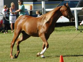 flaxcen chestnut arabian filly trotting by tbg-stock-images