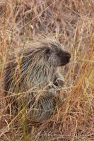 Porcupine by ThisWomanWanders