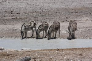 Zebra at waterhole by DoWnHIller