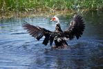 Muscovy Duck by Dunkleosteus-noir