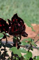 Black and Red Rose by Razgar