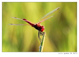 The dragonfly by gomes