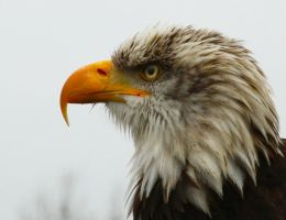 Bald Eagle by aj-waster