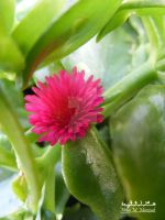 Pink Flower by habhopa