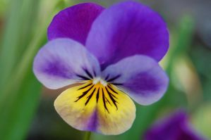 Purple Pansy by Mararda