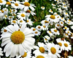 Daisy, Daisy, give me your answer do by Aroha-Photography