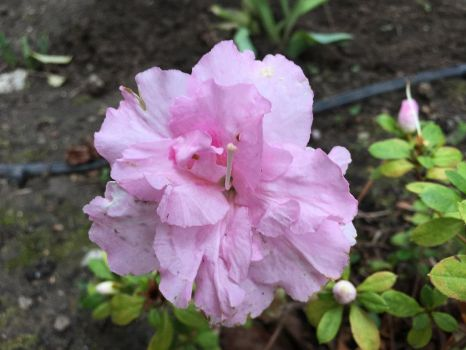 Pink ruffled flower by Chikoritasareawesome