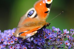 Peacock Butterfly by PennineRosa