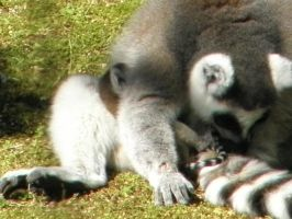 Baby lemur getting groomed 2 by Tinydog-Tinydog