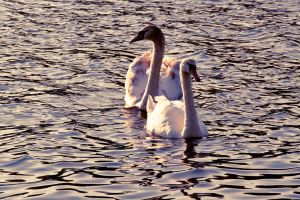 Swans by mini-ilse