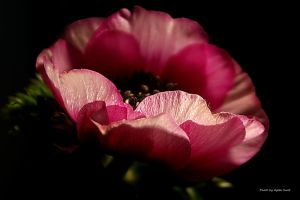 Pink delicacy ... by AgataSwat