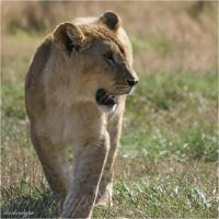 Young Lioness I by darkcalypso