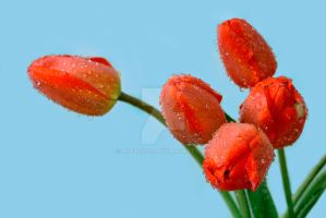 Red tulips by mialekos
