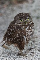 Burrowing Owl by secondclaw