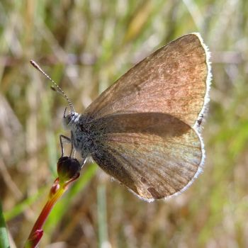 Common Grass-Blue by me-and-mojo