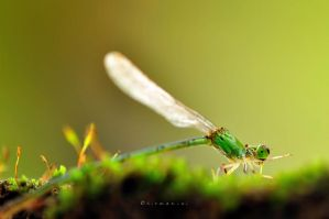 Green Damselfly 2 by hirza
