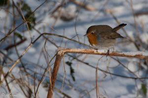 robin at snow by picture-melanie