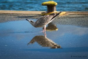 Seagull by friedapi