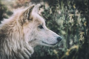 White Tundra Wolf by GJ-Vernon