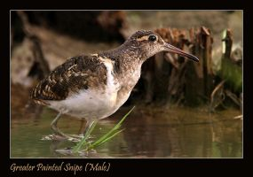 Greater Painted Snipe by Jamie-MacArthur