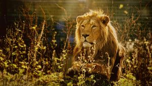 Lion in the Weeds by alexandrabirchmore