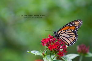 Flowers and Butterflies by TabithaS-Photography