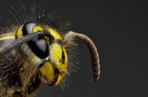 Common Wasp (side view) by FreezingGlare