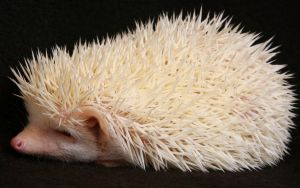 Albino Hedgehog by moltonel72