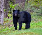 American Black Bear by IdolRebel