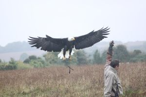 Bald Eagles Landing by random-person101