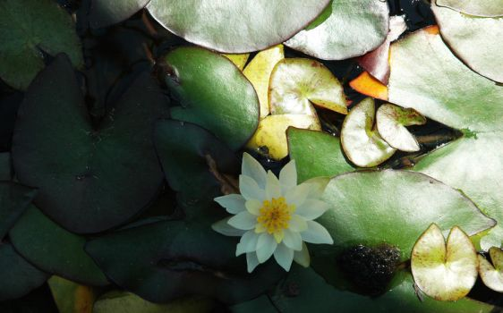 White Waterlily by DebsDebs