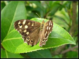 Spotted Wood Butterfly by cycoze