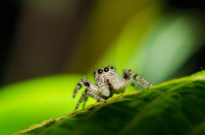 Jumping spider by ssabbath
