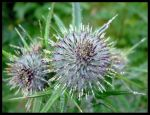 Raindrops on Thistles by druid-owl