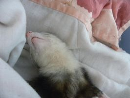 sleppy ferret by Arcialeth
