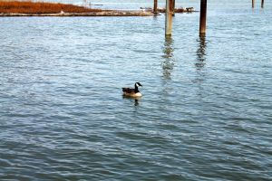 Lonesome Goose by MoonShadowPhoto