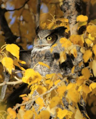 Autumn Owl by sgt-slaughter