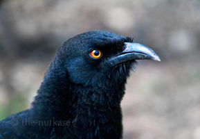 White-Winged Chough II by The-Nutkase