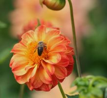 orange beauty with insect by ingeline-art
