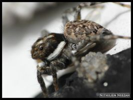 Spider 1 by nithilien