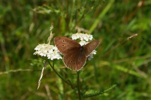 Meadow brown by Criosdan