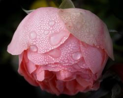 Rose after rain by TinyWild