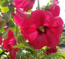 Hollyhock by ShipperTrish