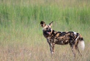 African Wild Dog by Simiangrunt
