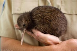 Kiwi Rescue by RoieG