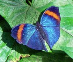 Blue and Orange Butterfly by Daniel-Storm