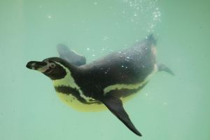 Penguin Stock 09 by Malleni-Stock