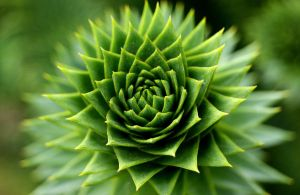 The Monkey Puzzle by angussporran