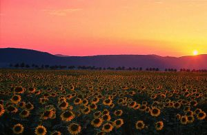 sunflower field by seraphRo