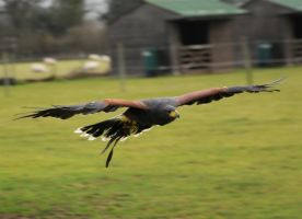 Harris Hawk Stock 17 by LRG-Photography